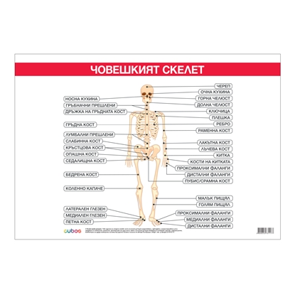"Picture of Student chart ""Bone system"", 70 x 100 cm"