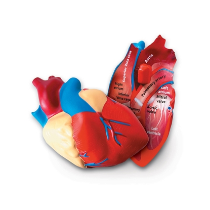 Picture of Cross-section heart model