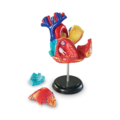 Picture of Heart anatomical model
