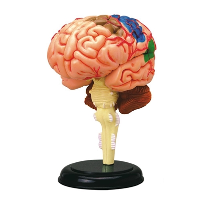 Picture of Brain anatomical model