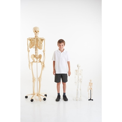 Picture of Human skeleton, 85 cm